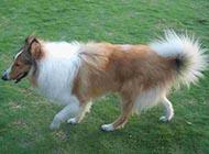 北美牧羊犬悠闲散步图片