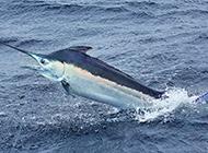 海上热带剑鱼图片特写