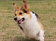 戶外奔跑的柯基犬圖片