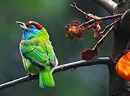 法国啄木鸟枝头栖息图片