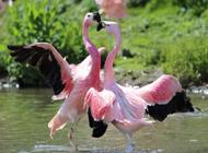 外形美丽的鸟类-火烈鸟高清图片