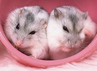 卖萌可爱的仓鼠唯美壁纸图片