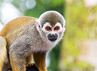 動物園的可愛大猩猩圖片