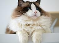 最美的布偶猫图片壁纸大全