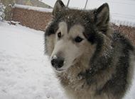 冬天搞笑雪橇犬特写图片