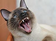 現代暹羅貓驚恐表情圖片