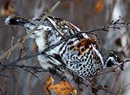 野生飞龙鸟羽翼丰满图片