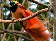 美麗的雌王極樂鳥圖片