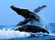 鲸鱼帅气跃水面高清组图