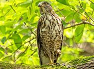 树枝上的鸟类猛禽凤头鹰图片