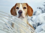 威風凜凜的獵兔犬圖片