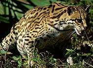 中國廣西野生豹貓攝影圖片欣賞