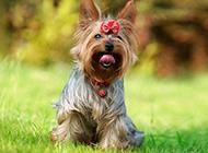 草地调皮玩耍的宠物狗约克夏图片