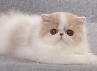 高贵的纯正波斯猫图片