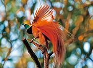 色彩鮮艷的新幾內亞極樂鳥圖片