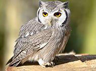 可爱的野生猫头鹰动物图片壁纸集锦