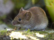 小型鼠類田鼠圖片大全