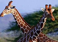 团结恩爱的长颈鹿高清图片