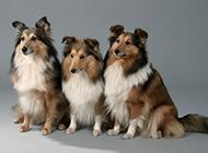 喜乐蒂牧羊犬可爱忠诚图片