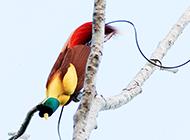 羽色華美的鳥類天堂鳥圖片