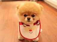 超萌美式博美俊介犬图片