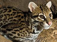 珍稀動物豹貓圖片大全