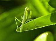 大年夜天然中的猎手螳螂高清桌面壁纸