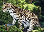 国家保护动物中华豹猫图片