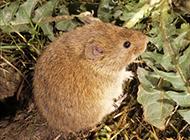 養殖田鼠吃食物的圖片