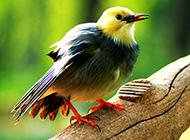 红嘴白玉鸟模样娇俏图片