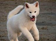 自娛自樂的白色秋田犬圖片