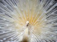 白孔雀开屏图片纯洁优雅