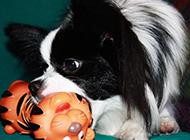 黑色蝴蝶犬咬玩具圖片