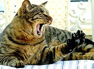 可愛貍花貓伸懶腰圖片