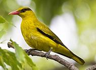 小黄鹂鸟树梢休息图片