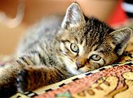 調皮撒嬌的灰色貍花貓圖片