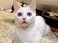 最美藍眼白貓賣萌圖片