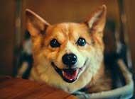 可愛的柯基犬高清精選桌面壁紙