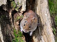樹縫里的田鼠圖片大全