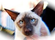 蓝色重点色暹罗猫翻白眼图片