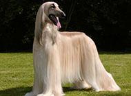 阿富汗獵犬柔滑被毛圖片