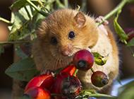 西班牙小睡鼠模样娇小可爱