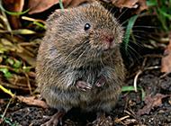 白天活動的小田鼠圖片