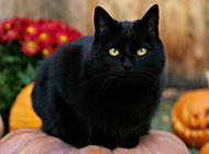 孟買貓乖巧優雅圖片