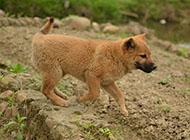 中華田園犬圖片可愛幼犬圖片