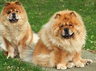 公園玩耍的成年松獅犬圖片