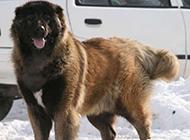凶猛的俄罗斯大高加索犬图片