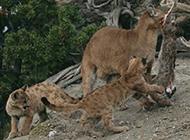 紅金貓野外狩獵圖片血腥殘忍
