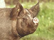 萌萌的小猪高清摄影图片