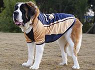 短毛圣伯纳犬帅气造型图片